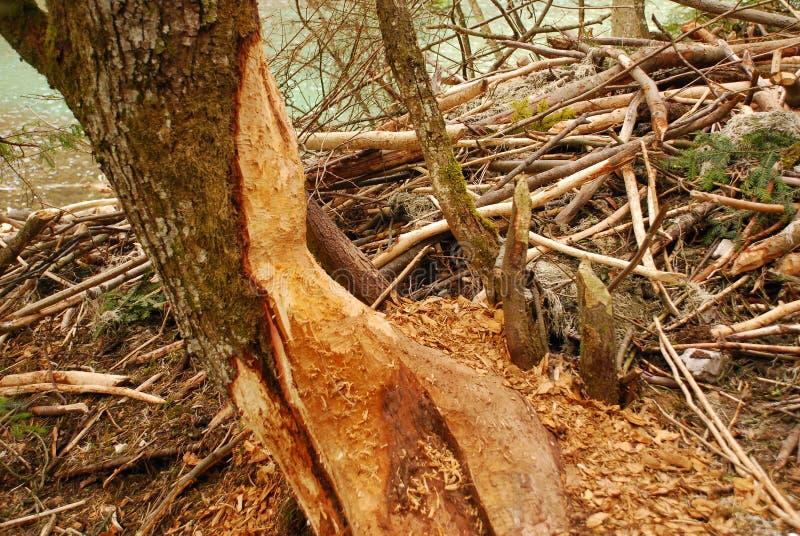 L'arbre avec des morsures de castor à côté de des castors logent image libre de droits