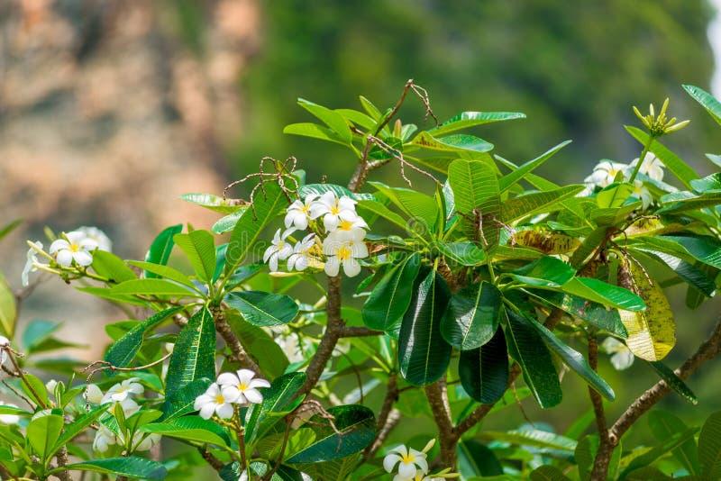 L'arbre avec le bel Asiatique parfumé fleurit le franzhypani image stock