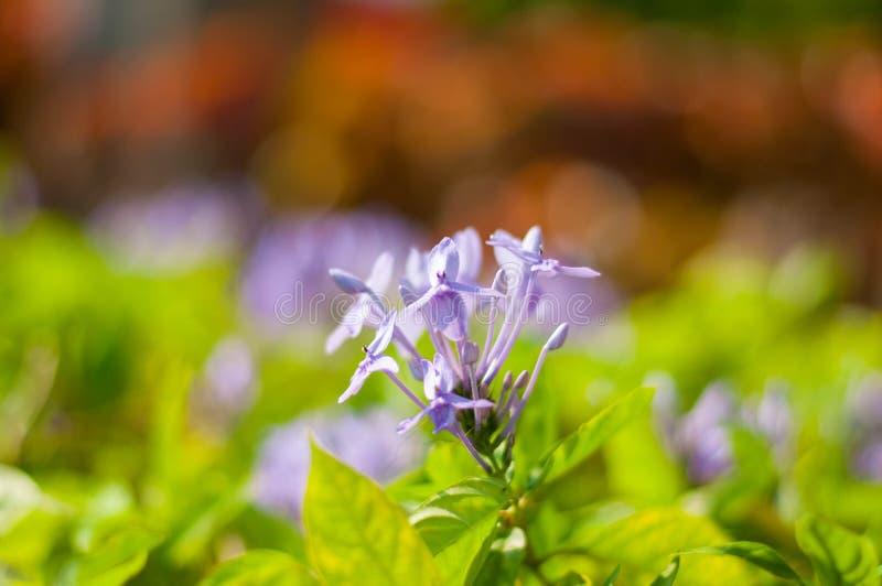 L'arbre bleu de fleur avec le fond de tache floue image stock