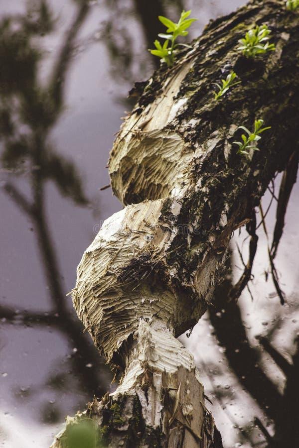 L'arbre a coupé par des castors sur la banque près de la rivière photo stock