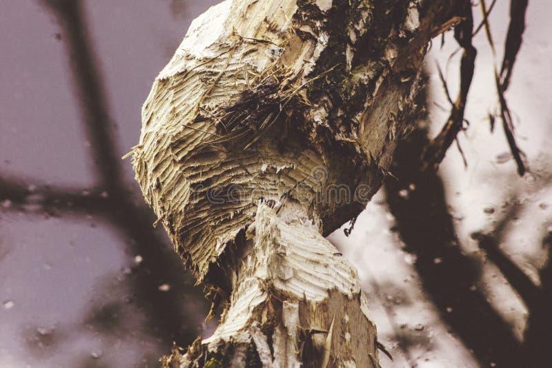 L'arbre a coupé par des castors sur la banque près de la rivière photographie stock