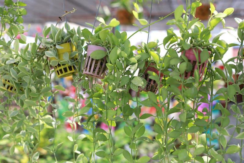 L'arbre décoré du vert frais part dans le pot de fleur images stock