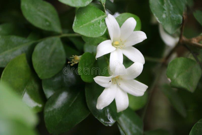 L'arbre d'écorce orange de Jessamine ou de Satin-bois ou de cosmétique est une couleur blanche sur l'arbre vert image stock