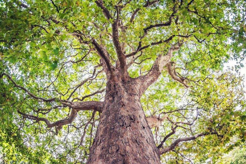 L'arbre d'érable part avec les branches colorées Vue inférieure photos libres de droits