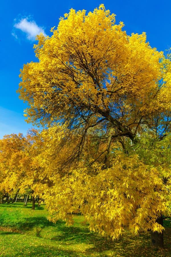 L'arbre d'automne avec le jaune part contre le ciel bleu photo libre de droits