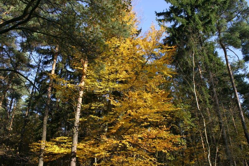 L'arbre d'automne principal 02 image stock