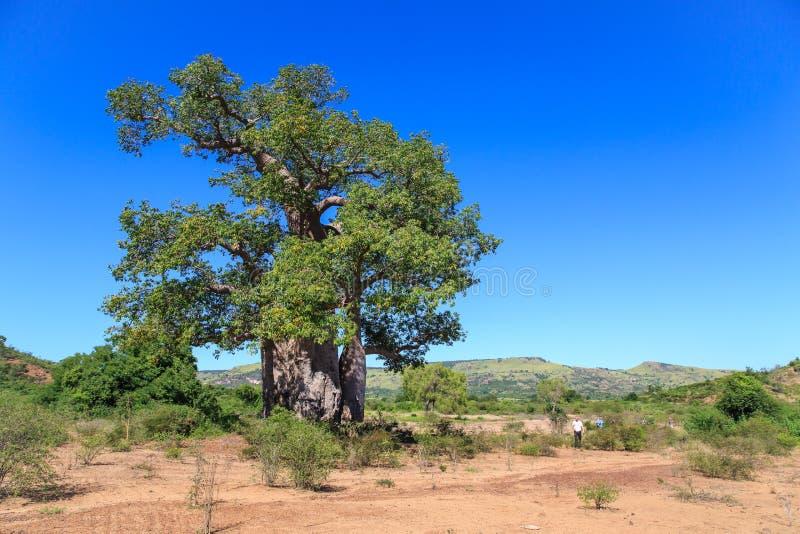 L'arbre de baobab avec le vert part dans un paysage africain avec l'espace libre image stock