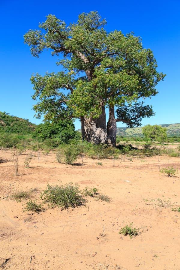 L'arbre de baobab avec le vert part dans un paysage africain avec l'espace libre photographie stock