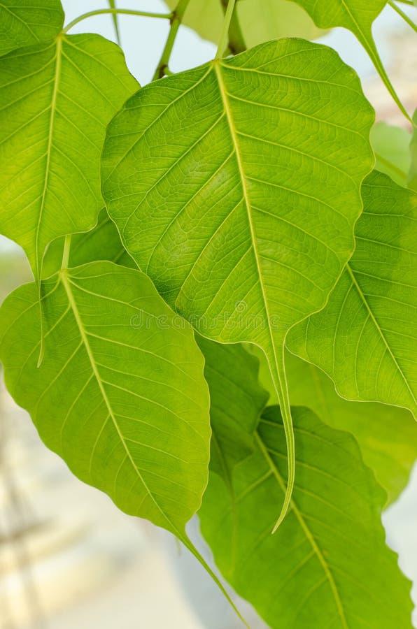 L'arbre de Bodhi images libres de droits