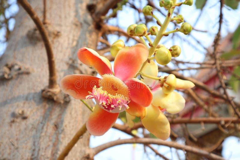 L'arbre de boulet de canon est une grande, à feuilles caduques plante vivace Bouquet parfumé même des fleurs un bouquet des fl image libre de droits