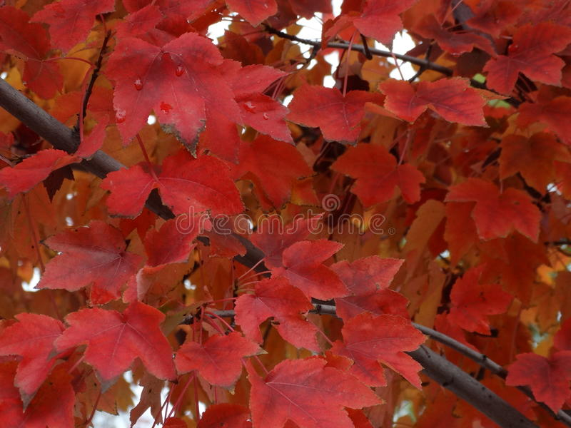 L'arbre de chute laisse des couleurs d'hiver de feuille image libre de droits