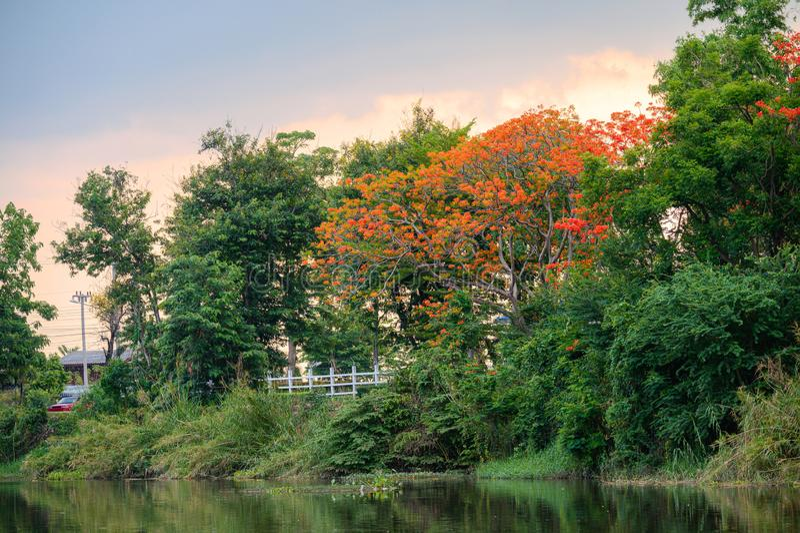L'arbre de flamme en parc naturel sur l'étang photographie stock