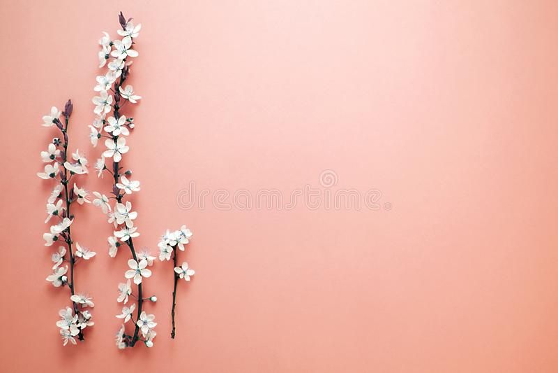 L'arbre de floraison du ressort avec les fleurs blanches sur le fond de corail L'espace pour votre conception Couleur de tendance image stock