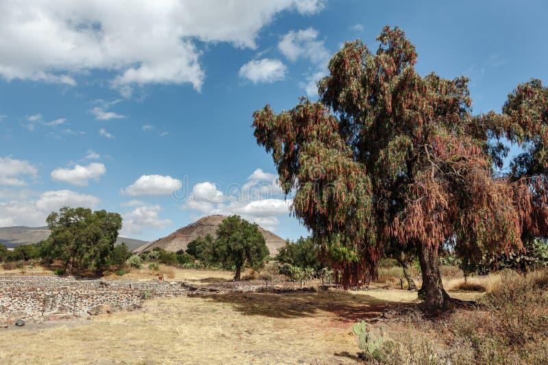 L'arbre de floraison se développe sur le fond du piramyd du soleil teotihuacan Mexico image stock