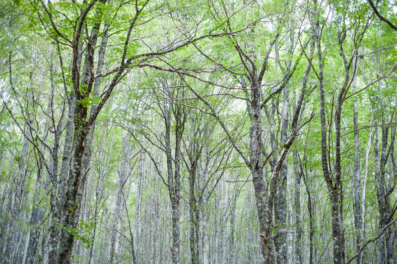 Download L'arbre De Hêtre Vert Scénique Fascinant Incline La Forêt Image stock - Image du lames, silence: 76079653