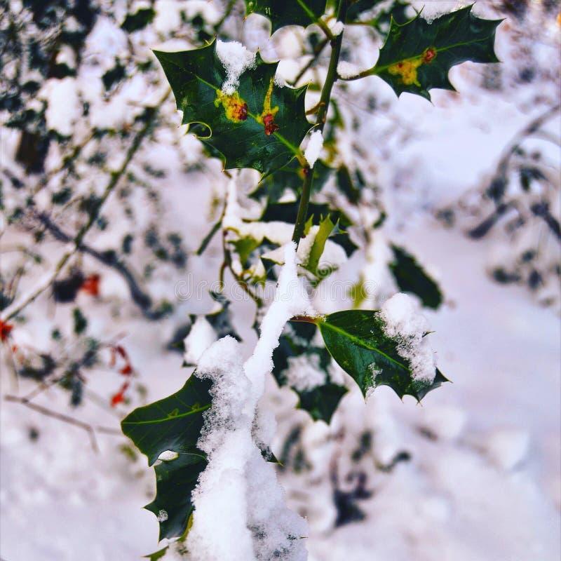 L'arbre de houx photographie stock