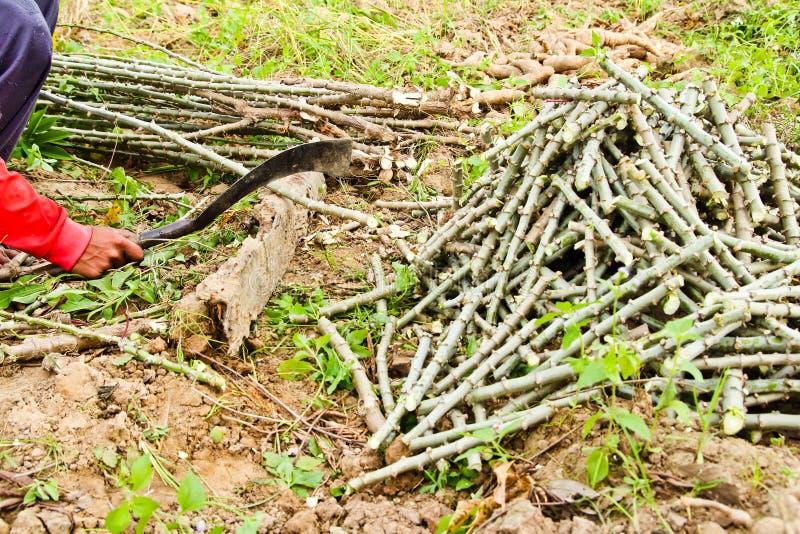 L'arbre de manioc de découpage de fermier photographie stock libre de droits