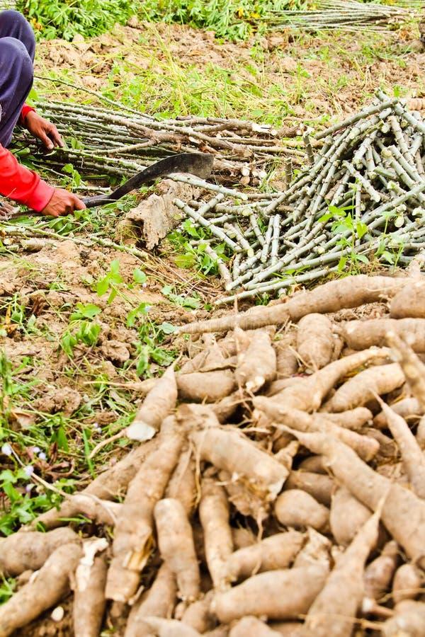 L'arbre de manioc de découpage de fermier photo libre de droits