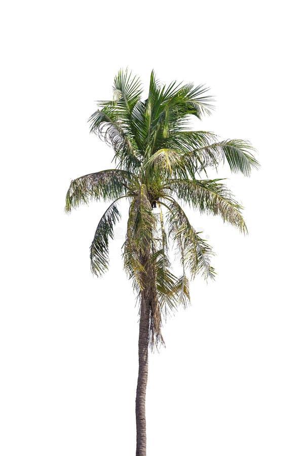 L'arbre de noix de coco d'isolement sur les arbres de noix de coco bons marchés de fond blanc sont les cultures économiques de la photos stock
