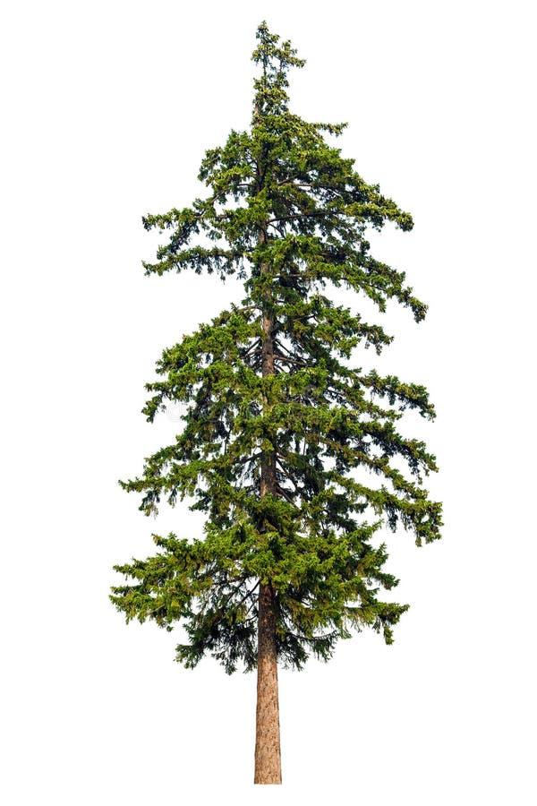 L'arbre de sapin a isolé images libres de droits