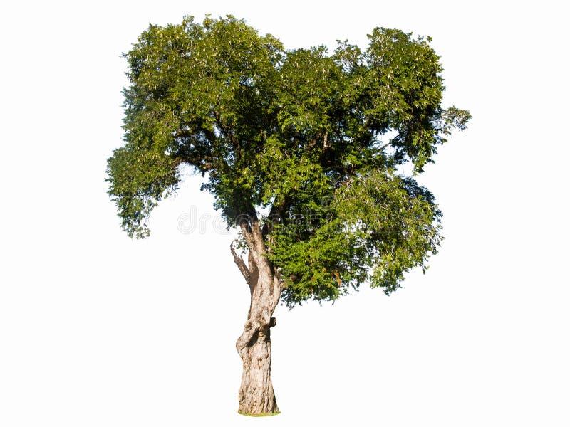 L'arbre de tamarinier sur le blanc d'isolement a employé pour la conception, la publicité et l'architecture photos stock