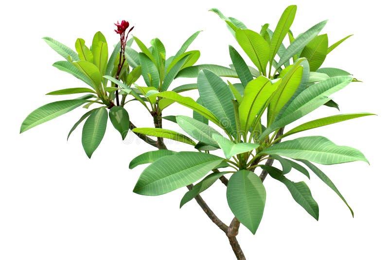 L'arbre de temple, feuille fraîche verte sur le groupe central s'embranche, le fond blanc d'isolement images libres de droits