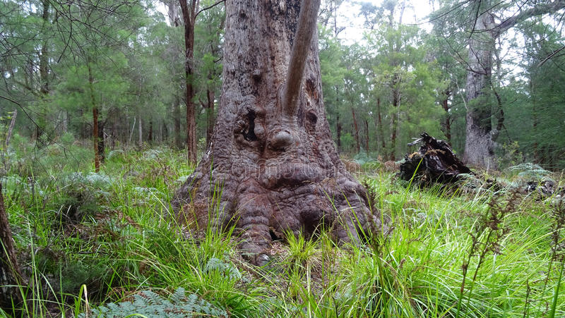 L'arbre de tintement près de l'arbre complète le passage couvert à l'Australie occidentale de Walpole en automne photos stock