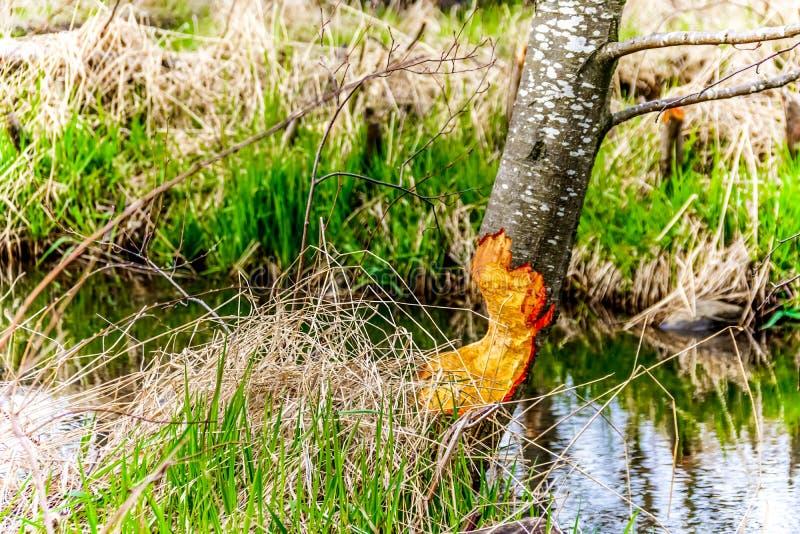L'arbre en partie a mâché par des castors en belle Colombie-Britannique, Canada photo libre de droits