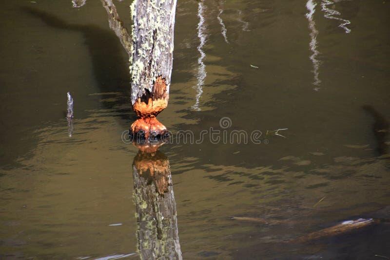 L'arbre a endommagé par des castors, vallée de roulette, Tierra Del Fuego, Chili photos libres de droits