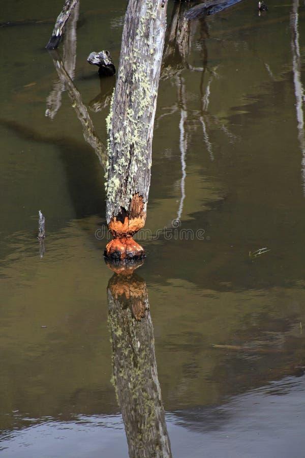 L'arbre a endommagé par des castors, vallée de roulette, Tierra Del Fuego, Chili images libres de droits