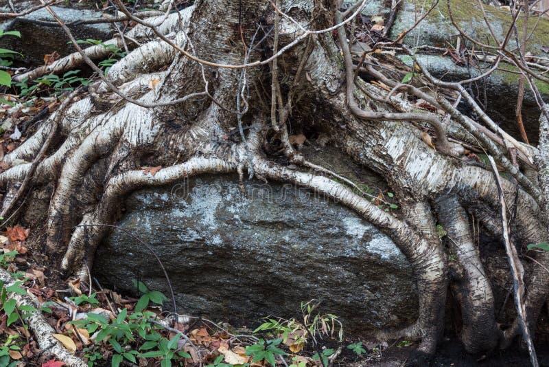 L'arbre enracine l'élevage autour d'un grand rocher, emballé images libres de droits