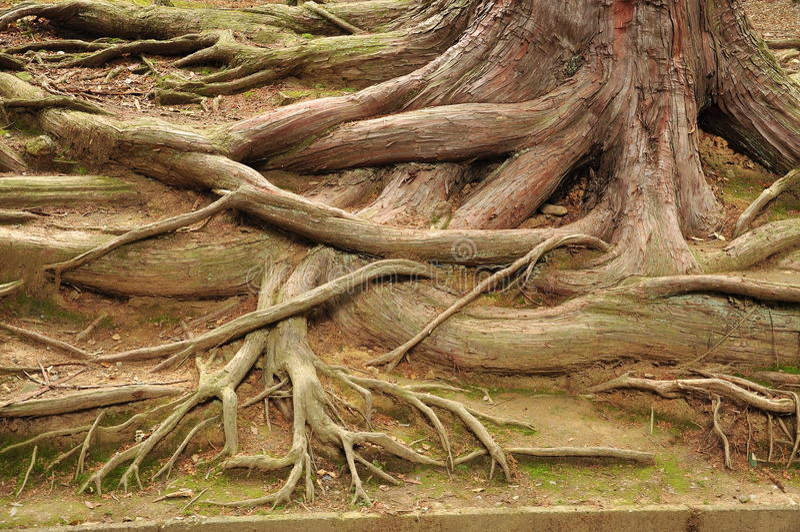 L'arbre enracine le modèle photos libres de droits