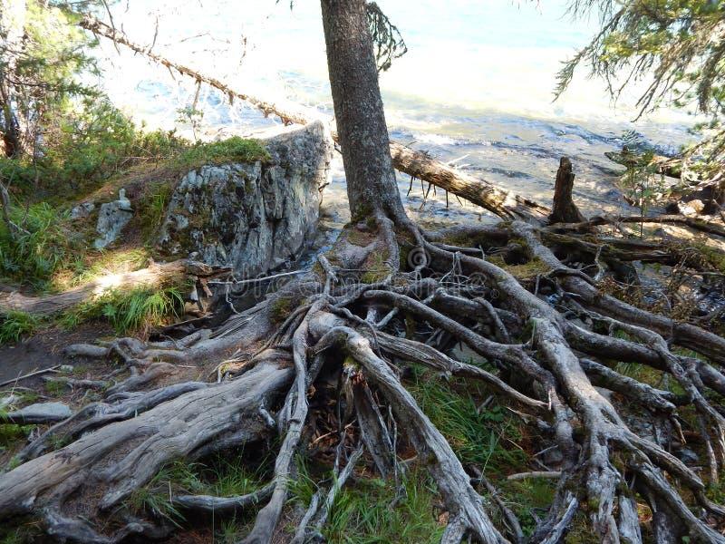 L'arbre entre dans l'eau, les racines restent sur le rivage photo stock