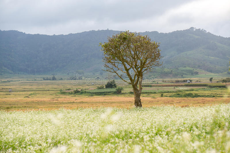 l'arbre et la moutarde mettent en place avec la fleur blanche dans DonDuong - Dalat- Vietnam photos libres de droits