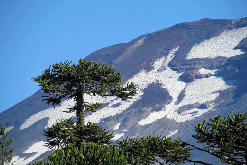 L'arbre et la neige d'araucaria ont couvert la montagne de volcan images libres de droits