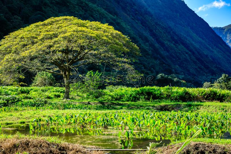 L'arbre et le taro mettent en place dans la vallée Hawaï de Waipio image stock