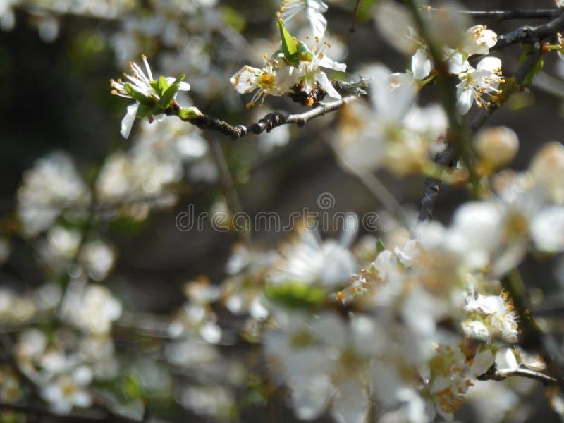 L'arbre fruitier de floraison avec les fleurs blanches font du jardinage au printemps Le printemps… a monté des feuilles, fond na images stock