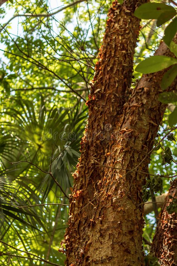 L'arbre gombo-fictif est une plante médicinale images stock