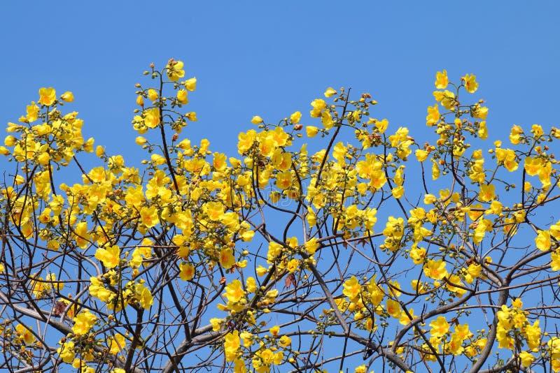 L'arbre jaune de fleur de coton fleurit sur le nom scientifique de fond de bleu de ciel : Regium de Cochlospermum, groupe jaune d images stock