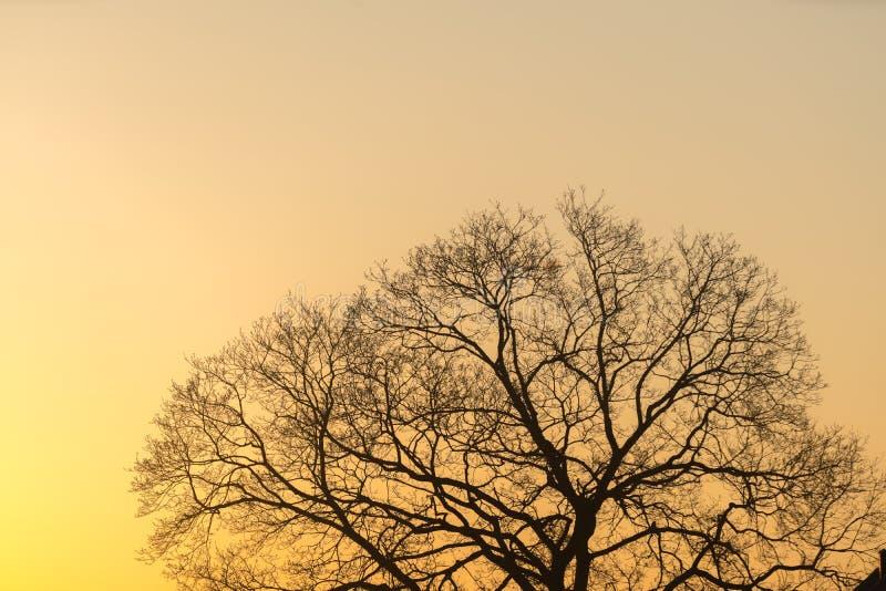 L'arbre majestueux de silhouette avec le coucher du soleil idyllique au crépuscule et au fond clair de ciel Silhouette des branch images stock
