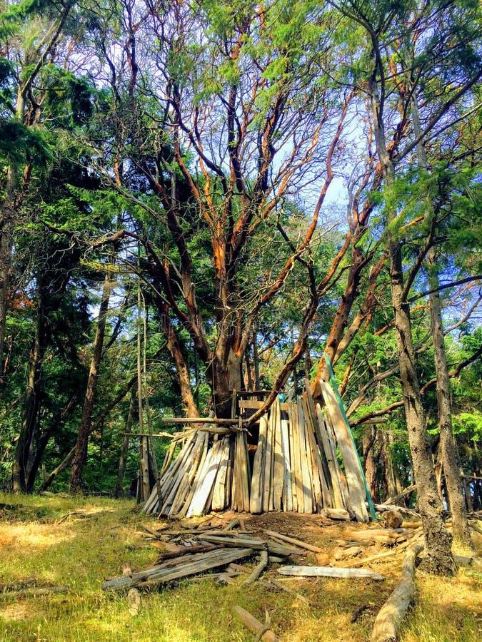 L'arbre massif d'arbutus abritant un homme a fait le fort d'arbre construit du Dr. images stock