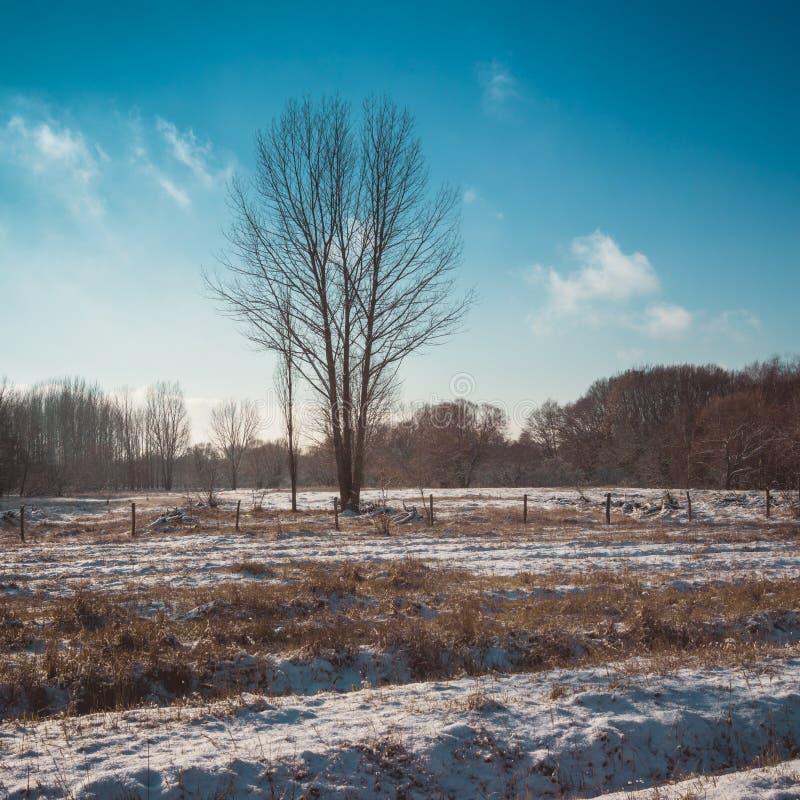 L'arbre nu dans la neige a couvert le champ de ferme sur Sunny Day photo stock