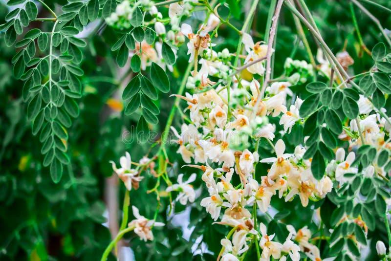 un arbre Martin le 1er Avril 2020 trouvé par Martine - Page 3 L-arbre-ou-le-pilon-de-raifort-sauvage-la-fleur-blanche-et-jaune-orange-est-une-source-riche-des-vitamines-minerais-contr%C3%B4le-143689750