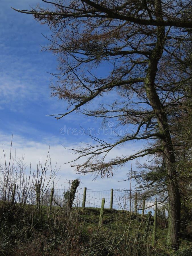 L'arbre, pin, squelettique, arme des branches tendues photos libres de droits