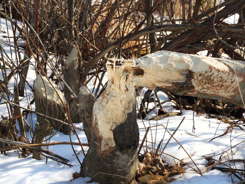 L'arbre a récemment mâché prêt à être transporté au repaire de castor image libre de droits