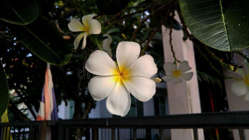L'arbre rare de cimetière de fleurs a six pétales photographie stock