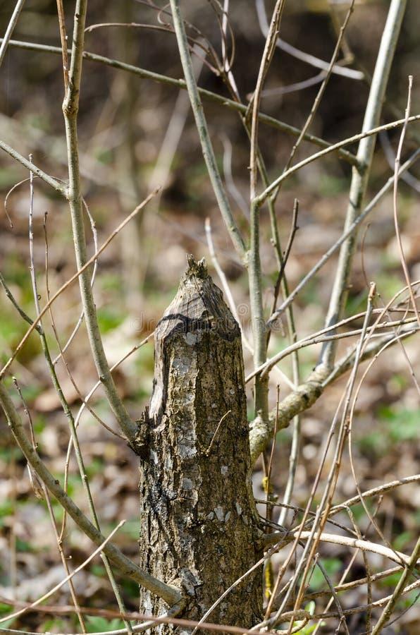 L'arbre a rongé et s'est renversé vers le bas par des castors image libre de droits