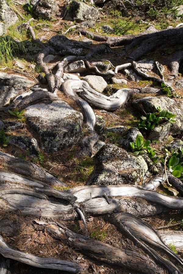 L'arbre s'enracine au sol dans la forêt de montagne images libres de droits
