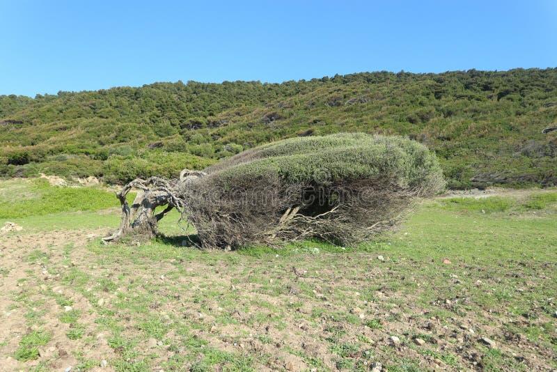 L'arbre s'est plié par les vents du nord dans le littoral de l'île de Skiathos en Grèce image libre de droits