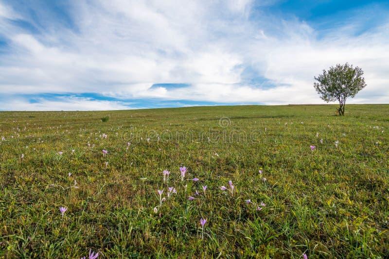 L'arbre simple de ypung sur le champ vert, automne rose fleurit sur le premier plan photos stock